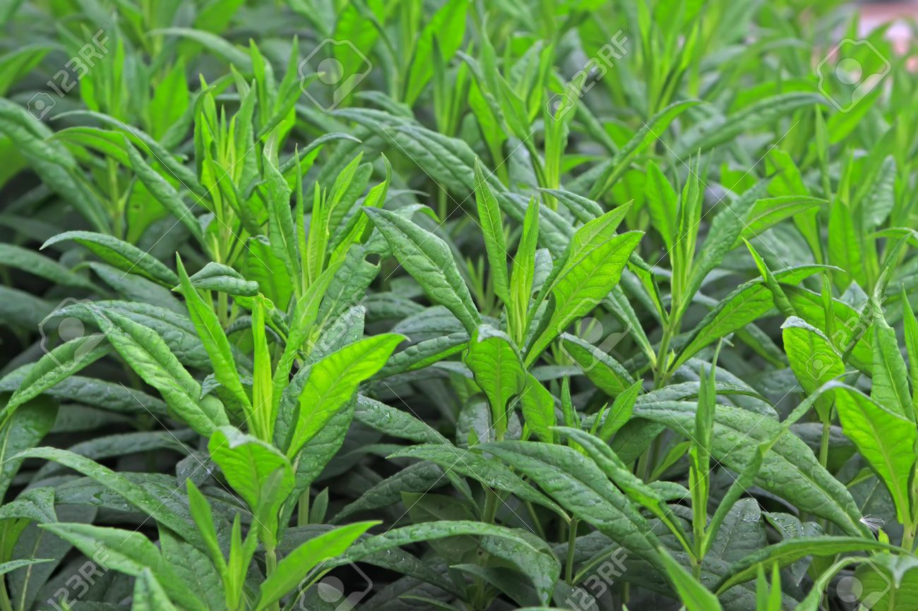 7240414-close-up-of-phlox-seedlings-a-green-very-pretty-can-do-green-plants-can-be-potted-taken-in-Luannan-C-Stock-Photo
